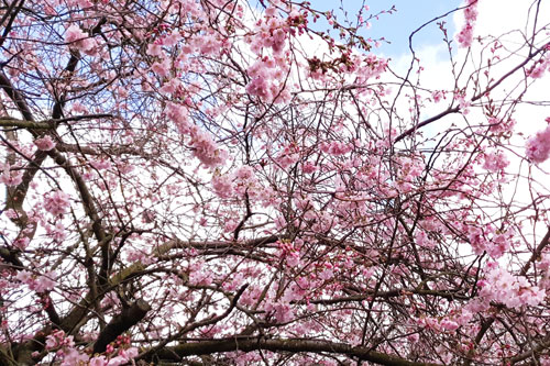 Top places to see cherry blossom in central London
